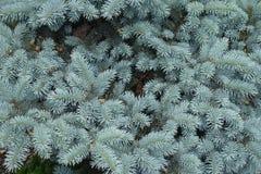 Игла сизоватого зеленого цвета как листья pungens Picea стоковые изображения