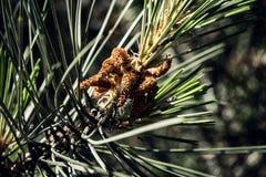 Иглы дерева Стоковая Фотография