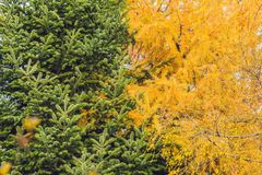 Иглы лиственницы и елей В осени Стоковые Изображения