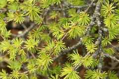 иглы лиственницы молодые Стоковые Фото