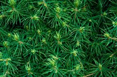 Иглы на ветвях конического стоковые фотографии rf
