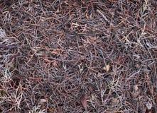 Иглы сосенки Стоковая Фотография RF