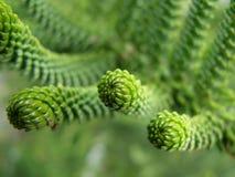 Иглы Conifer Стоковое Изображение