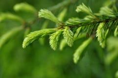 иглы spruce Стоковые Фотографии RF