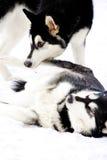играть аляскских malamutes Стоковые Фотографии RF