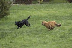 Играть 2 большой собак Стоковые Изображения RF