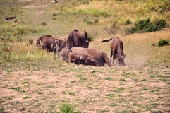Играть буйвола Стоковое Фото