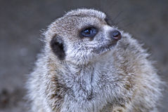 играть главные роли meerkat стоковые фотографии rf