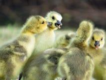 Играть гусят гусыни Канады младенца Стоковая Фотография RF