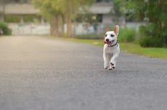 Играть Джека наслаженный Расселом с скоростью Стоковая Фотография RF