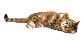 играть изолированный котом Стоковые Изображения