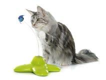 Играть кота енота Мейна Стоковые Фотографии RF
