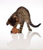Играть кота, рождество Стоковое Фото