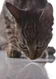 Играть кота, рождество Стоковые Изображения