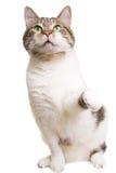 Играть кота с зелеными глазами на изолированной белизне Стоковое Изображение