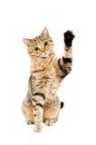 Играть кота шотландский прямой Стоковое Изображение RF