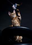 играть кота Стоковые Фотографии RF