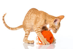 Играть кота Стоковая Фотография RF