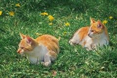 Играть 2 маленький котят Стоковые Изображения