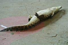 Играть мертвое Croc Стоковая Фотография