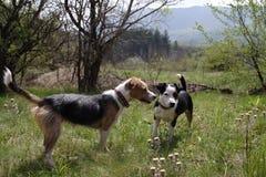 Играть 2 милый собак стоковое изображение rf