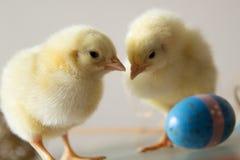 Играть 2 молодой цыплят стоковые фото