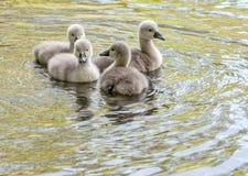 Играть молодые лебедей Стоковые Фото