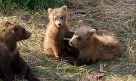 Играть новичков бурого медведя Стоковые Изображения RF
