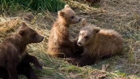Играть новичков бурого медведя Стоковые Фото