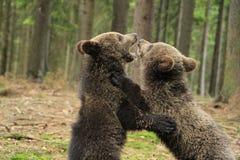 Играть новичков бурого медведя Стоковое Изображение RF