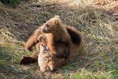 Играть новичков бурого медведя Стоковые Изображения