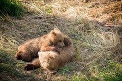 Играть новичков бурого медведя Стоковая Фотография