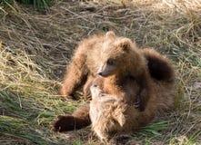 Играть новичков бурого медведя Стоковая Фотография RF