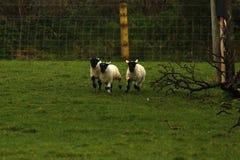 Играть овечек времени весны Стоковая Фотография RF
