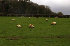 Играть овечек времени весны Стоковое Изображение RF