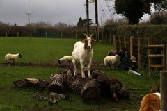 Играть овечек времени весны Стоковая Фотография