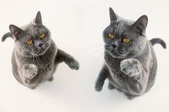 Играть 2 серый котов британцев Shorthair Стоковое фото RF