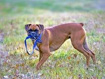 Играть собаки боксера стоковое изображение rf
