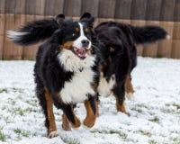 Играть собаки горы Bernese стоковое изображение