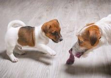 Играть собаки матери Стоковые Изображения