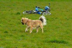 играть собаки Стоковая Фотография