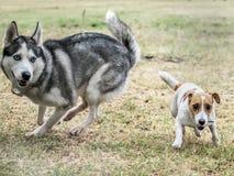 Играть 2 собак внешний на летнем дне Терьер лайки и Джека Рассела бежать быстро Стоковое фото RF