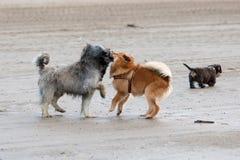 Играть собак на пляже Стоковая Фотография