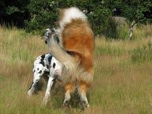 играть собак Стоковые Фото