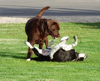 играть собак Стоковое Изображение RF