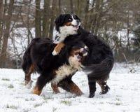Играть собак Bernese стоковая фотография