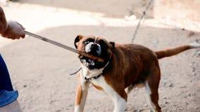 Играть с собакой на улице сток-видео