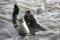 Играть уплотнений слона в воде Стоковое Изображение RF