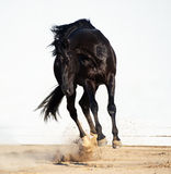 Играть черного жеребца trakehner Стоковые Фото