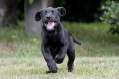 Играть щенка Лабрадора Стоковые Фотографии RF